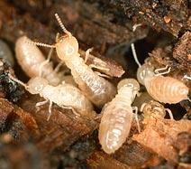 photo_termites